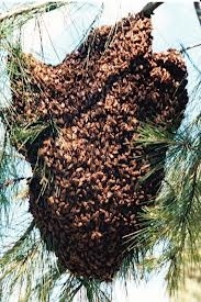 Sciame di api invade la scuola Fornaci Cona chiusura per mettere in sicurezza l'edificio